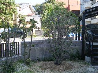 ウバメガシ 植栽