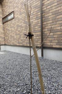 ソメイヨシノ幼木